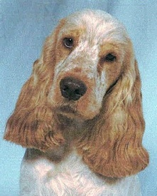 Cocker Spaniel Types Show Type and Working ...