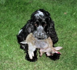 Cocker Spaniel Types Show Type Cocker carrying a